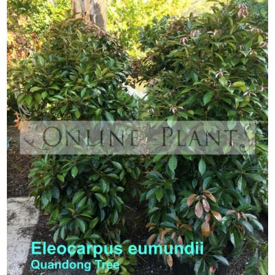 Eleocarpus Eumundii Quandong Tree