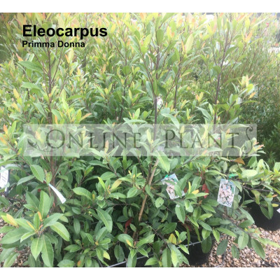 Eleocarpus Prima Donna