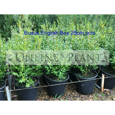 Buxus sempervirens English Box