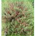 Eremophila Maculata Red