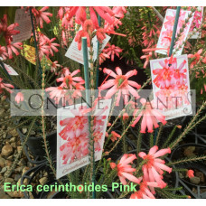 Erica cerinthoides Pink