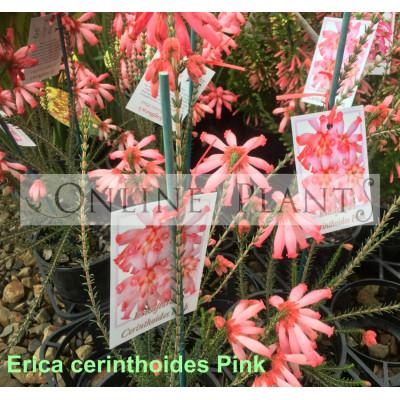 Erica cerinthoides Pink