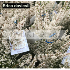 Erica davesii