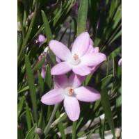 Eriostemon Flowergirl
