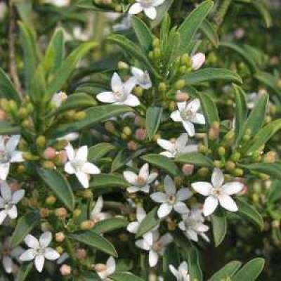 Eriostemon myoporides Wax flower
