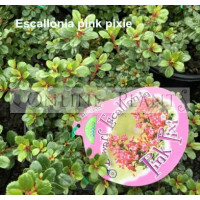 Escallonia Pink Pixie
