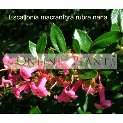 Escallonia Macrantha Rubra Nana