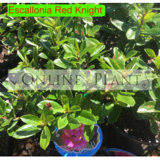 Escallonia Red Knight