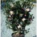 Espalier Camellia Sasanqua