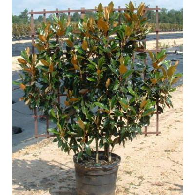 Espalier Magnolia Little Gem