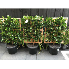 Espalier Orange