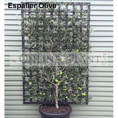 Olive Espalier