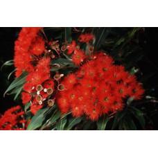 Eucalyptus (Corymbia) ficifolia Red Flowering Gum