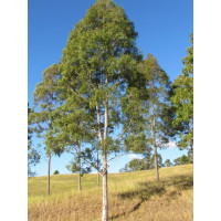 Eucalyptus (Corymbia) maculata Spotted Gum