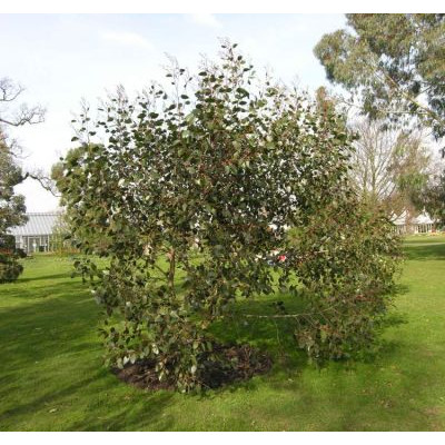 Eucalyptus Alpina grampians gum