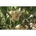 Eucalyptus Cladocalyx Bushy sugar gum