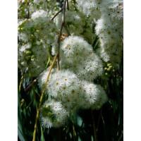 Eucalyptus Elata River White Gum