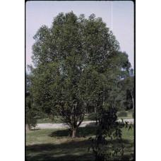 Eucalyptus Lehmannii Bushy Yate
