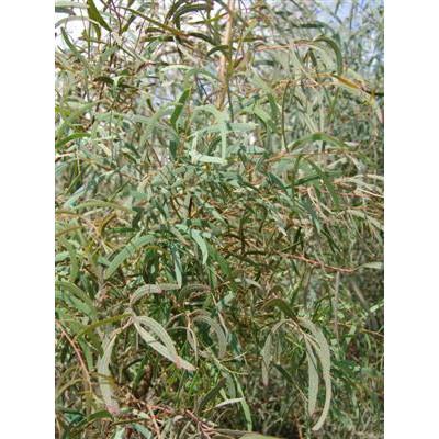 Eucalyptus Nicholii Peppermint Gum