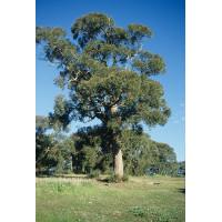 Eucalyptus obliqua Stringy Bark