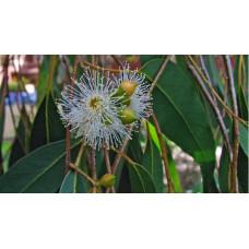Eucalyptus ovata Swamp Gum