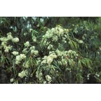Eucalyptus Pulchella White Peppermint