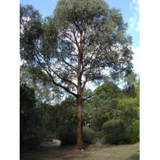 Eucalyptus radiata Narrow-leaved peppermint