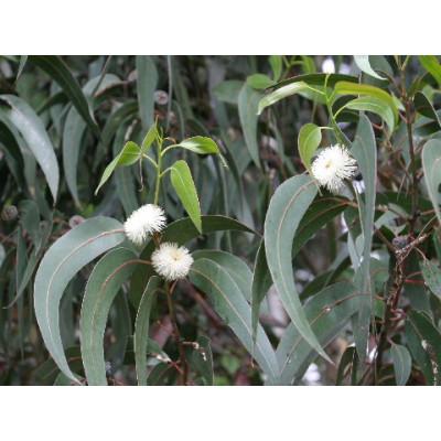 Eucalyptus Viminalis, Manna/Ribbon Gum