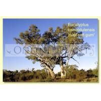 Eucalyptus Camaldulensis, River Red Gum