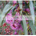 Eucalyptus Purple Patch