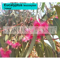 Eucalyptus Leucoxylon Rosea Red flowering yellow gum