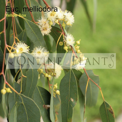 Eucalyptus Melliodora Yellow Box