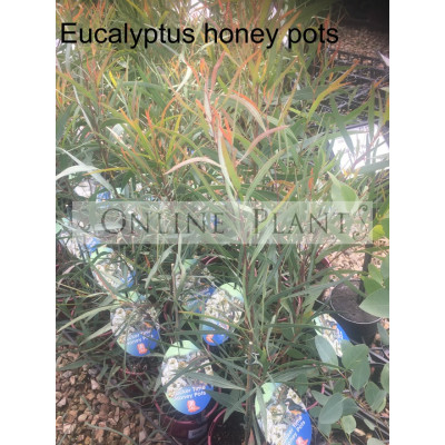 Eucalyptus Honey Pots