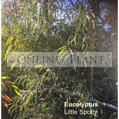 Eucalyptus Little Spotty
