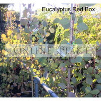 Eucalyptus Polyanthemos Red Box