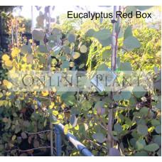 Eucalyptus Polyanthemos Red Box