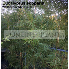 Eucalyptus scoparia Wallangarra White Gum