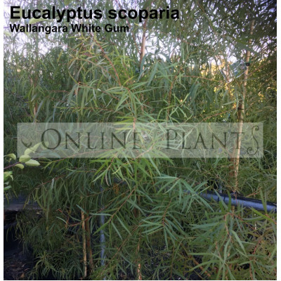 Eucalyptus scoparia Wallangarra White Gum