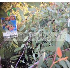 Eucalyptus Sideroxylon Rosea Pink Flower Ironbark