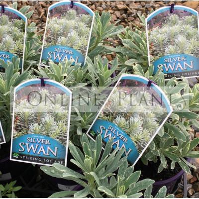 Euphorbia Silver Swan
