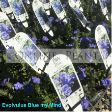 Evolvulos blue my mind