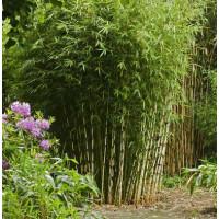 Fargesia Emperor bamboo