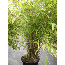 Fargesia Great Wall bamboo