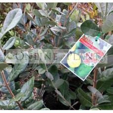 Feijoa sellowiana, Pineapple Guava