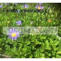 Felicia amelloides Blue Margurite