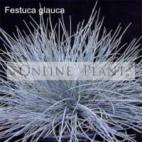Festuca glauca, Blue Fescue