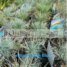 Festuca Elijah Blue
