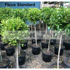 Ficus hillii Standard Ficus