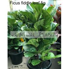 Ficus lyrata Fiddle leaf fig