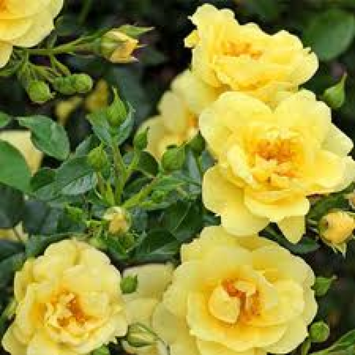 Flower Carpet Rose Gold For Sale Australian Plants Online